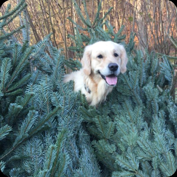 Auf dem Bild sieht man einen Hund zwischen Weihnachtsbäumen